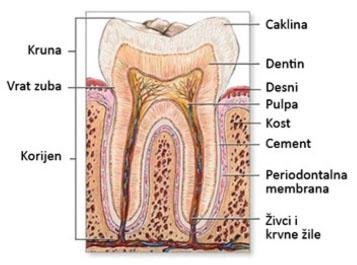 građa zuba-sl1-crop-u4166