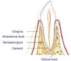 parodoncijum zuba-sl5